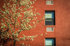 Blossoming tree, apartment building, Manhattan, New York City Royalty Free Stock Images