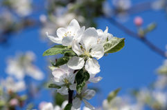 Blossoming tree of an an apple-tree in the spring Royalty Free Stock Photography