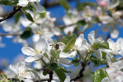 Blossoming tree of an an apple-tree in the spring Stock Photos