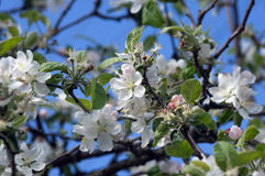 Blossoming tree of an an apple-tree in the spring Stock Image