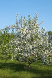 Blossoming tree of an apple-tree Royalty Free Stock Images