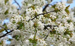 Blossoming tree with beautiful white flowers Royalty Free Stock Image