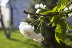 Blossoming tree flowers Stock Photos