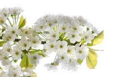 Blossoming tree branch. Close up of blossoming tree branch Stock Photos
