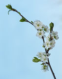 Blossoming tree branch Royalty Free Stock Image
