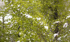 Blossoming tree branch with fresh foliage snow. Blossoming tree branch with fresh foliage snow after April snow storm in Moldova Stock Photography