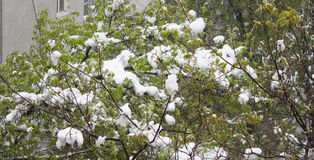 Blossoming tree branch with fresh foliage snow. Blossoming tree branch with fresh foliage snow after April snow storm in Moldova Royalty Free Stock Images
