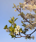 Blossoming tree branch Royalty Free Stock Photo