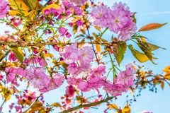 Blossoming tree branch in spring with purple pink flowers and bl royalty free stock photo