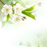 Blossoming tree branch with white flowers Stock Photo
