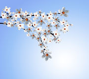 Blossoming tree branch with white flowers. Vector illustration Royalty Free Stock Photos