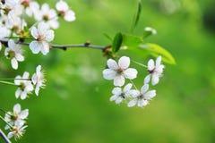 Blossoming tree Royalty Free Stock Photos
