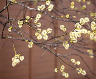 Blossoming tree branches with new buds new in spring Stock Photography