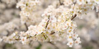 Blossoming tree branches Royalty Free Stock Images
