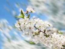 Blossoming tree brunch Stock Image