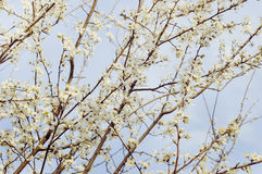 Blossoming tree brunch Royalty Free Stock Image