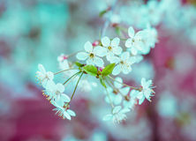 Blossoming tree brunch with white apple or cherry flowers Stock Photo