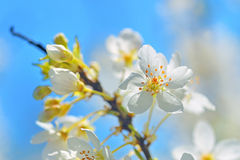 Blossoming tree brunch with white flowers Stock Photo