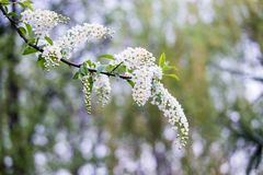 Blossoming tree brunch with white flowers on bokeh green backgro. Und. Shallow depth of field Royalty Free Stock Photography