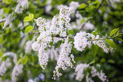 Blossoming tree brunch with white flowers on bokeh green background. Royalty Free Stock Images