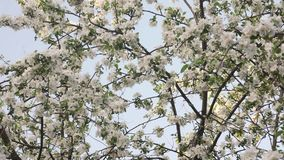 Blossom Apple Tree over Sky Background stock video