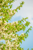 Blossoming tree brunch with white flowers Stock Image