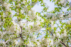 Blossoming tree brunch with white flowers Stock Images