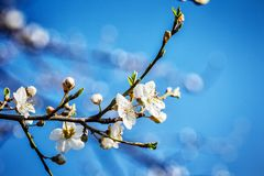 Blossoming tree brunch with white flowers at spring Royalty Free Stock Photos