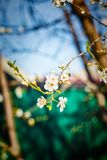 Blossoming tree brunch with white flowers at spring Royalty Free Stock Photo