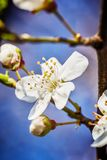 Blossoming tree brunch with white flowers at spring Stock Photo
