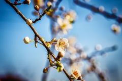 Blossoming tree brunch with white flowers at spring Royalty Free Stock Photography
