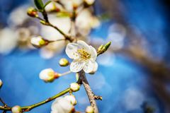 Blossoming tree brunch with white flowers at spring Royalty Free Stock Image