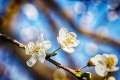 Blossoming tree brunch with white flowers at spring Stock Images