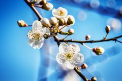 Blossoming tree brunch with white flowers at spring Stock Image