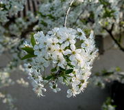 Blossoming tree brunch with white flowers. Stock Photo
