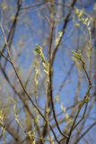 Blossoming tree bud. In spring Stock Photo