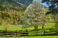 Blossoming tree. This is blossoming tree in Caucasus mountains stock photography