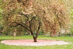 Blossoming tree in central park, NYC Stock Image
