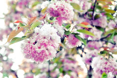 Blossoming tree. Blossoming cherry tree in spring, pink cherry flowers Stock Images