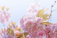 Blossoming tree. Blossoming cherry tree in spring, pink cherry flowers Stock Photos