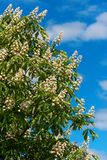 Blossoming tree chestnut. Royalty Free Stock Photo