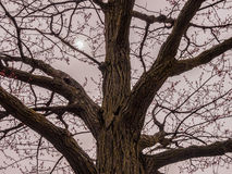 Blossoming tree. On a cloudy spring day Stock Photography