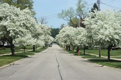 Blossoming tree covered road street Stock Photo