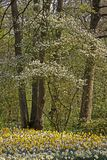 Blossoming tree with daffodills in spring Royalty Free Stock Image
