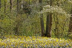 Blossoming tree with daffodills in spring Stock Photos