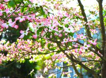Blossoming Tree in Early Spring Lights Up in the Sun. Pink and white blossoms on a tree makes for a stunning landscape at this blue house in the early springtime royalty free stock images