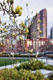 Blossoming tree at Financial District at North End Park Boston. Blossoming tree and Financial District at North End Park on Cross Street in Boston, Massachusetts stock photos