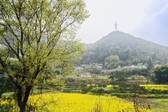 Blossoming tree before flowering fields and mountainside at sunn Stock Photography