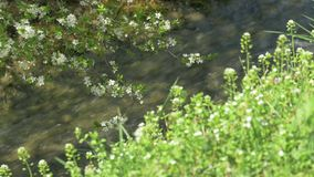Blossoming Tree, Green Grass, Mountain River. (Focus in the Background stock video