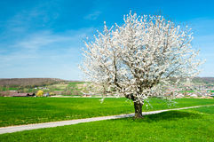 Blossoming tree with green meadow Stock Photo